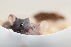 Relapses Prevented in Multiple Sclerosis Mouse Model