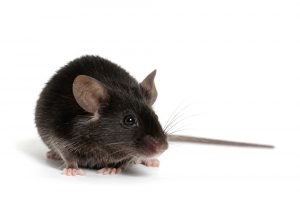 Single Treatment Protects Myelin and Reverses Paralysis in MS Study in Mice