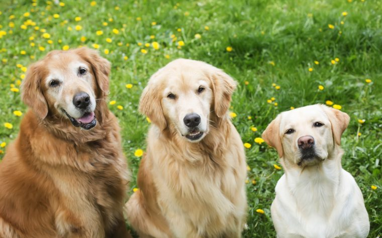 golden retriever dog days