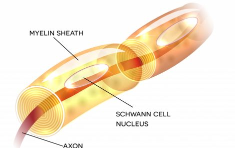 Inhibiting Enzyme Can Reverse Myelin Damage, Improve Limb Function, Mouse Study Shows