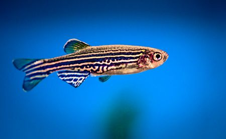 Proposed Anti-inflammatory Treatment Found Non-toxic in Zebrafish